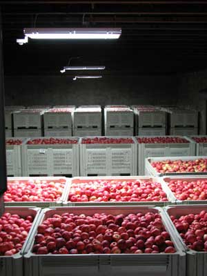 Photo of apple storage at Stemilt