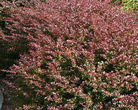 Photo of Japanese barberry. Click to view more details.
