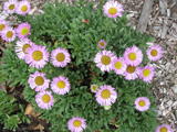 Photo of Fleabane pink daisy. Click to view more details.