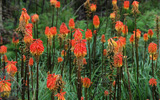 Photo of Red hot poker. Click to view more details.