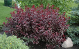 Photo of Purple leaf sand cherry. Click to view more details.