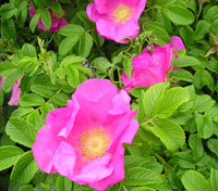Photo of Rugosa rose. Click to view more details.