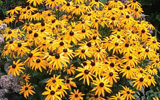 Photo of Black-eyed Susan daisy. Click to view more details.
