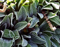 Photo of Lambs ear. Click to view more details.