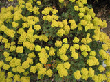 Photo of Sulfur buckwheat. Click to view more details.