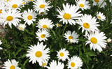Photo of White bouquet tansy. Click to view more details.