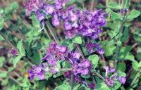 Photo of Catmint. Click to view more details.