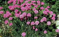 Photo of Common thrift. Click to view more details.
