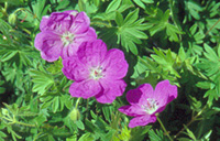 Photo of Cranesbill. Click to view more details.