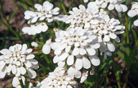 Photo of Dwarf candytuft. Click to view more details.