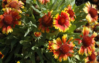 Photo of Goblin blanket flower. Click to view more details.