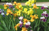 Photo of Bearded Iris. Click to view more details.