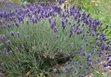 Photo of Lavender. Click to view more details.