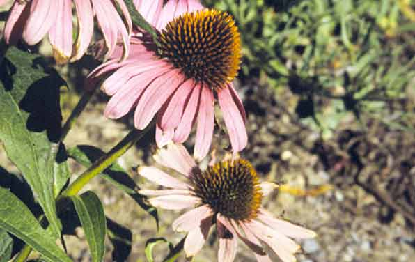 Photo of Purple coneflower. Click to view more details.