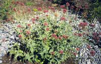 Photo of Valerian. Click to view more details.