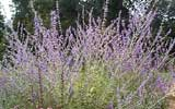 Photo of Russian sage. Click to view more details.