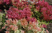 Photo of Stonecrop. Click to view more details.