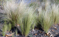 Photo of Silky thread grass. Click to view more details.