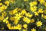 Photo of Thread leaf coreopsis. Click to view more details.