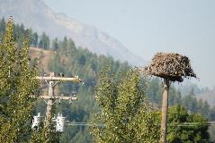 Nest platforms provide osprey and other raptors a safer alternative than power poles for nesting.