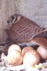 A female American kestrel and her clutch of eggs in a nest box provided by Chelan PUD.