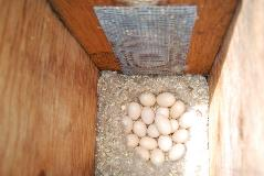 Eggs laid by a wood duck in a nest box provided by Chelan PUD.
