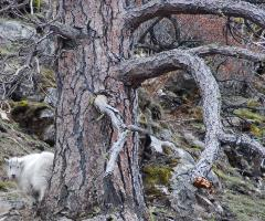 A kid (baby mountain goat) peeks out from behind a large Ponderosa pine snag.  It's mother is nearby, hidden by the tree trunk.