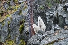 Mountain goats are very curious.  Here, a nanny and her kid (mother and this year's baby) peer down a cliff at biologists conducting a winter count along Lake Chelan.
