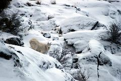 A mountain goat nibbles on a bitterbrush.  When snow is deep, many herbivores turn to shrubs that stick up above the snow.  While they aren't the preferred food, they do help to provide nutrients to keep goats, sheep, and deer alive during harsh winters.