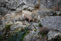 Some of the bighorn sheep are outfitted with tracking collars, and can be seen frequently by biologists during surveys.  Telemetry equipment often accompanies WDFW biologists, and they work together with PUD biologists to monitor the sheep.