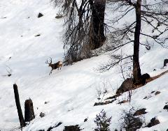 Winter deer counts along Lake Chelan are conducted by boat.  Sometimes, this is the only view biologists can get of the wary mule deer bucks.