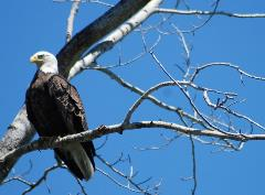 A mature bald eagle looks for a snack along Rocky Reach Reservoir.