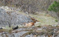 Sometimes, biologists get glimpses of hard-to-see wildlife.  This cougar was napping off a meal, and the sound of the boat woke it up.
