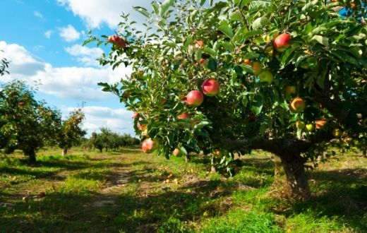 Apple orchard with rows of trees with ripe fruit