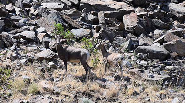 Image of bighorn sheep