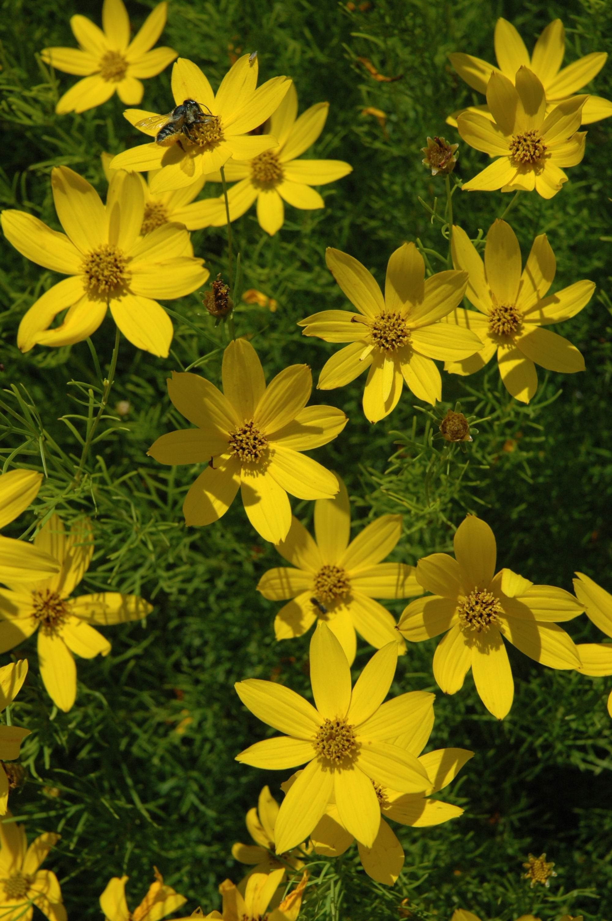 Coreopsis_Bee_Web