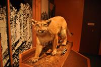 Photo of a mounted Cougar in the Museum