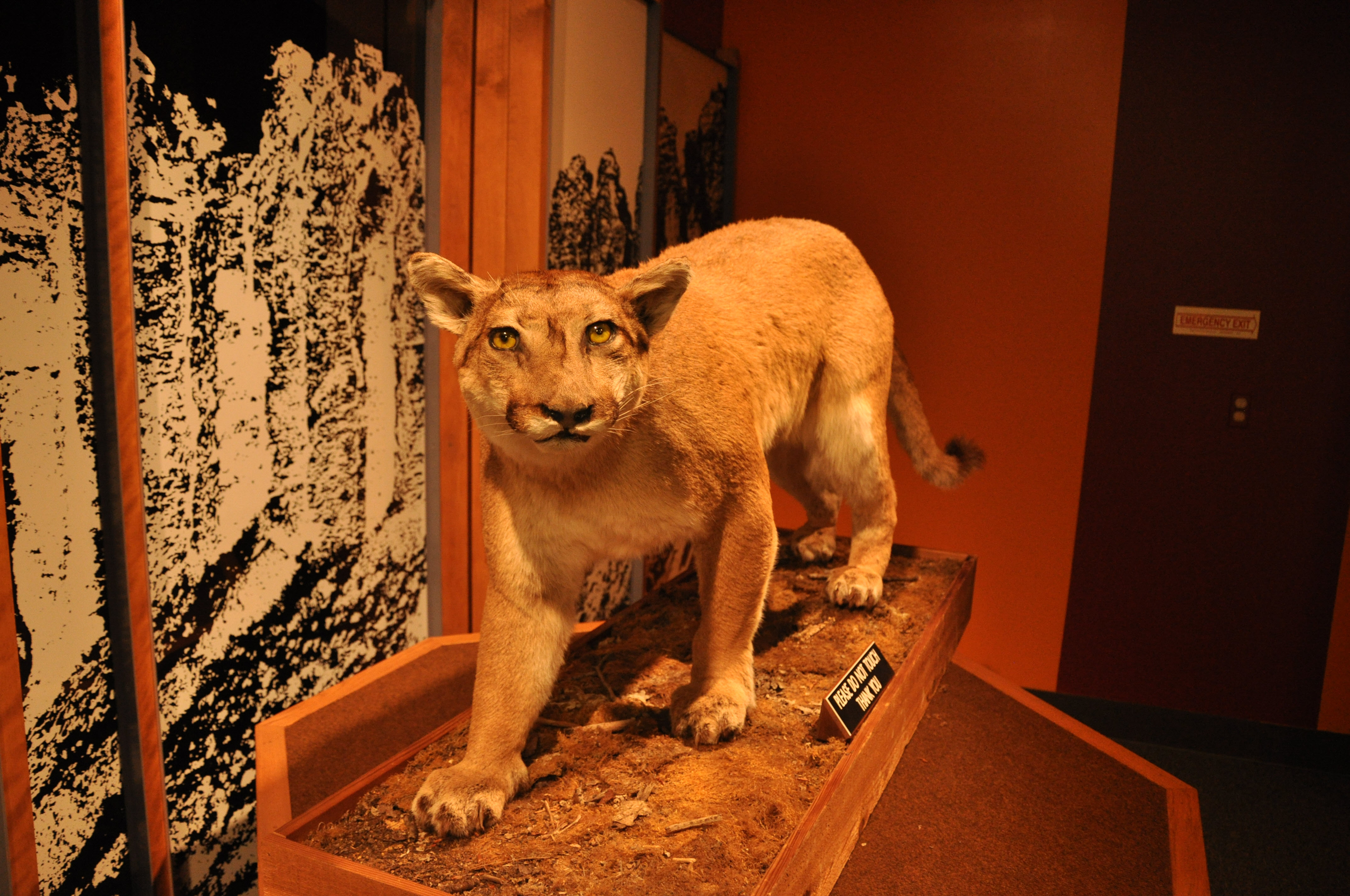 Cougar in the Museum