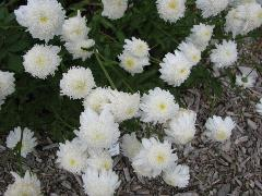 Photo of Double Shasta Daisy
