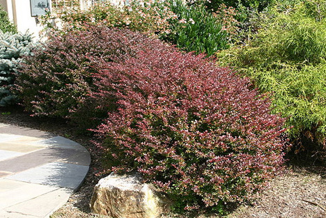 Photo of Japanese barberry