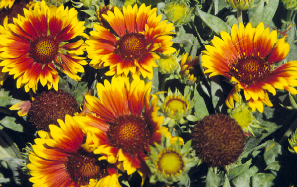 Photo of Goblin blanket flower