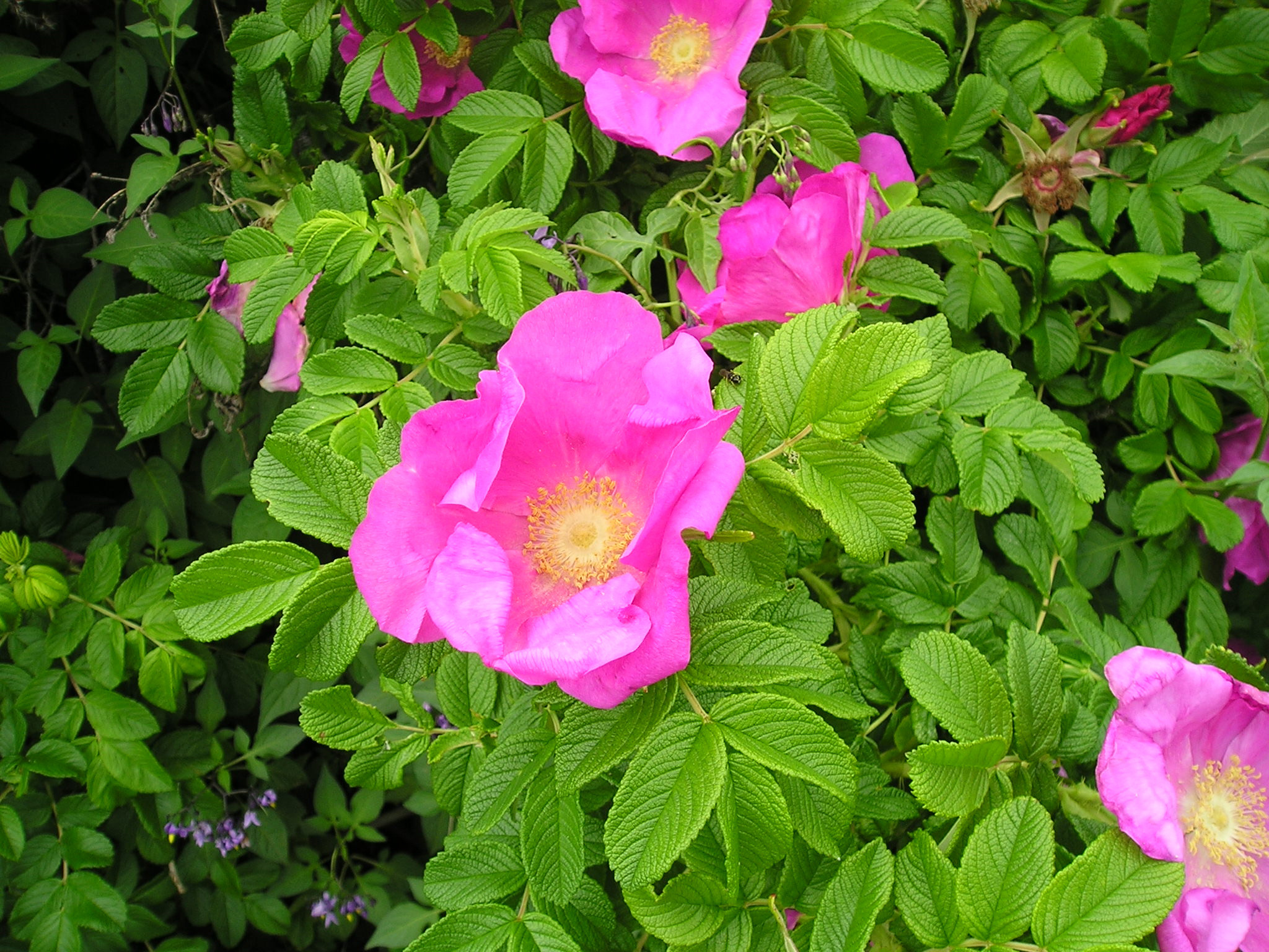 Photo of Rugosa rose