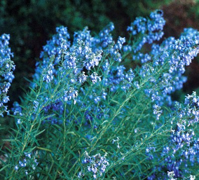 Photo of Pitcher's blue sage