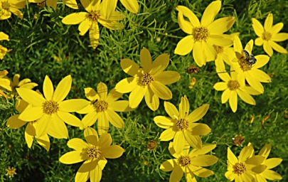 Photo of Thread leaf coreopsis